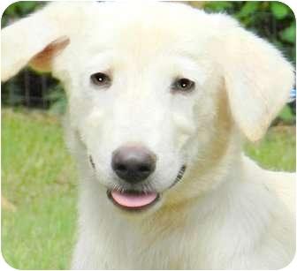 Labrador Retriever Mix Puppy for adoption in Wakefield, Rhode Island - FENWAY(LOVES CHILDREN!!!)