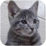 Domestic Shorthair Kitten for adoption in Wheaton, Illinois - Pirate