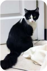 Domestic Longhair Cat for adoption in Chicago, Illinois - Andromeda