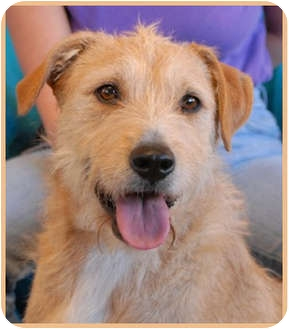 Terrier (Unknown Type, Medium) Mix Dog for adoption in Las Vegas, Nevada - Scout