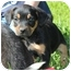 Photo 1 - Rottweiler Mix Puppy for adoption in Plainfield, Connecticut - Miss Piggy