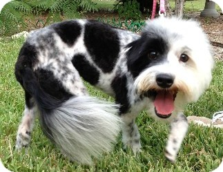 Maltese Mix Dog for adoption in Schertz, Texas - Skittles