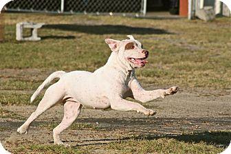English Bulldog/American Bulldog Mix Dog for adoption in Hammonton, New Jersey - Lucie