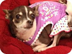 Chihuahua Mix Dog for adoption in Mesa, Arizona - Lisa Marie