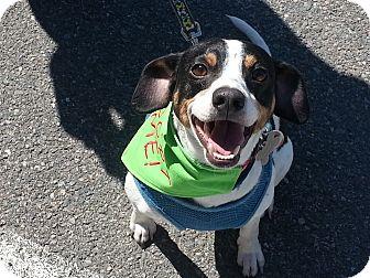 Rat Terrier/Beagle Mix Dog for adoption in Richmond, Virginia - JJ