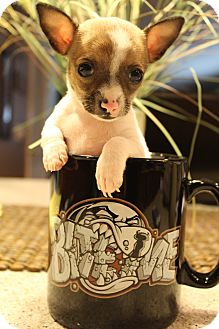 Chihuahua Puppy for adoption in Wytheville, Virginia - Ella