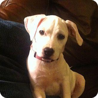 Labrador Retriever/Dalmatian Mix Puppy for adoption in Olive Branch, Mississippi - Emma