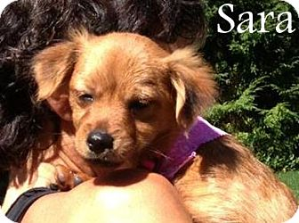 Yorkie, Yorkshire Terrier/Poodle (Miniature) Mix Puppy for adoption in New Jersey, New Jersey - Wyckoff NJ - Sara