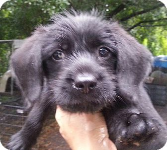 Schnauzer (Standard) Mix Puppy for adoption in Orlando, Florida - Rosado#2M
