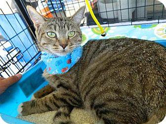 Domestic Shorthair Cat for adoption in Laguna Niguel, California - Sushi