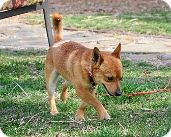 Shiba Inu Mix Dog for adoption in Homewood, Alabama - Taz