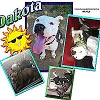Adopt A Pet :: Dakota - Irving, TX