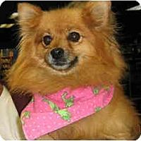 Adopt A Pet :: Tootsie - Scottsdale, AZ