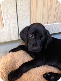 Labrador Retriever Mix Puppy for adoption in Cincinnati, Ohio - Nadia