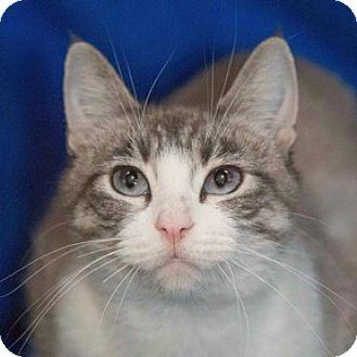 Domestic Shorthair Cat for adoption in Calgary, Alberta - Wendy
