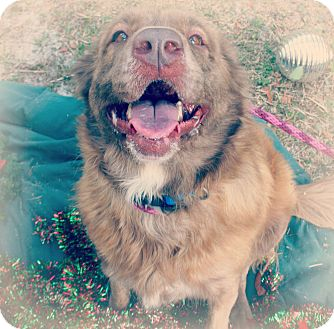 Australian Shepherd Mix Dog for adoption in Gainesville, Florida - Natalie