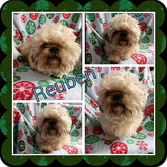Shih Tzu Mix Dog for adoption in Urbana, Ohio - Reuben