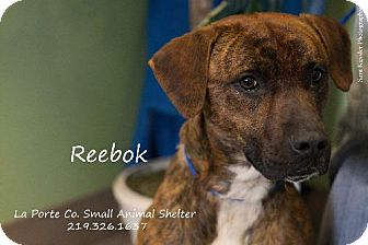 Pit Bull Terrier Mix Puppy for adoption in La Porte, Indiana - Reebok