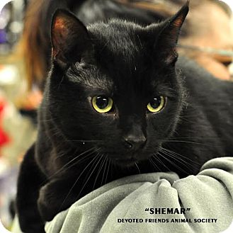 Domestic Shorthair Cat for adoption in Ortonville, Michigan - Shemar