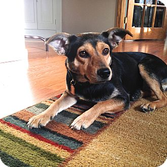 Terrier (Unknown Type, Small)/Manchester Terrier Mix Dog for adoption in Wamego, Kansas - Claire