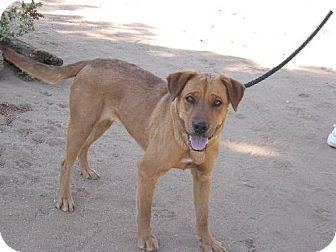 Golden Retriever Mix Dog for adoption in Las Cruces, New Mexico - Ginger