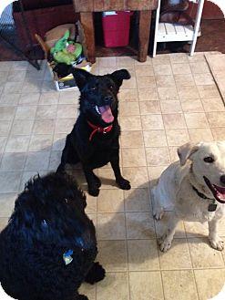 Shepherd (Unknown Type)/Labrador Retriever Mix Dog for adoption in selden, New York - Zoey