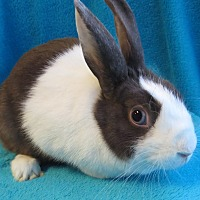 Dutch Mix for adoption in Los Angeles, California - Cookie