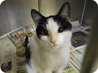 Domestic Shorthair Cat for adoption in Napoleon, Ohio - Cosmo