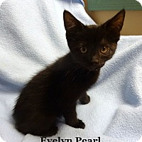 Adopt A Pet :: Evelyn Pearl - Bentonville, AR