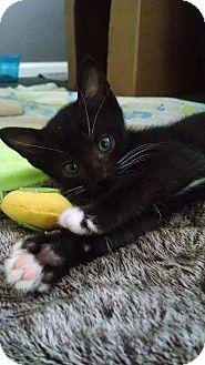 Domestic Shorthair Kitten for adoption in Colmar, Pennsylvania - Julian