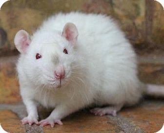 Rat for adoption in Benbrook, Texas - Flash