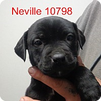 Adopt A Pet :: Neville - Greencastle, NC
