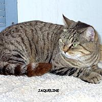 Domestic Shorthair Cat for adoption in Naples, Florida - Jacqueline
