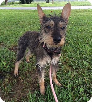 Terrier (Unknown Type, Small) Mix Dog for adoption in Hendersonville, North Carolina - Onna