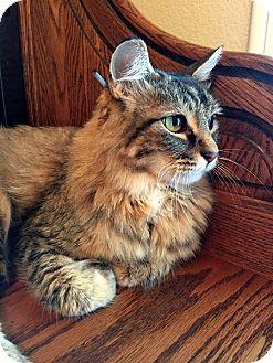 Domestic Longhair Cat for adoption in Las Vegas, Nevada - PJ