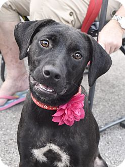 Labrador Retriever Mix Dog for adoption in Norwich, Connecticut - Marie