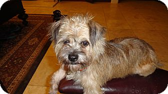 Border Terrier Mix Dog for adoption in Plano, Texas - BOOMER LOVABLE LAP DOG