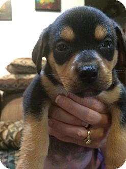 Labrador Retriever Mix Puppy for adoption in Austin, Texas - Puppy Adromeda