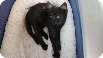 Domestic Shorthair Kitten for adoption in Clarkson, Kentucky - Sable