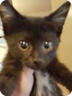 Domestic Shorthair Kitten for adoption in McHenry, Illinois - Amber