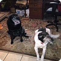 Adopt A Pet :: Nikko and Meeka - Bellingham, WA