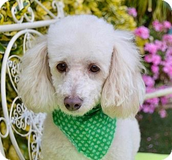 Poodle (Miniature) Dog for adoption in Irvine, California - Louis