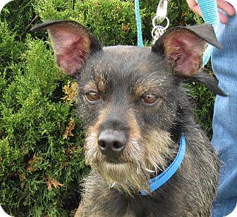 Terrier (Unknown Type, Small)/Schnauzer (Miniature) Mix Dog for adoption in Overland Park, Kansas - A078365 Leonard