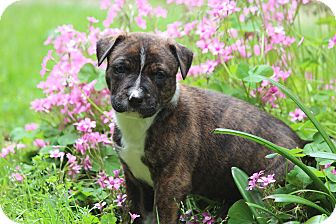 Boxer/Terrier (Unknown Type, Medium) Mix Puppy for adoption in Yadkinville, North Carolina - Homer
