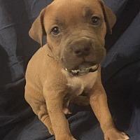 Adopt A Pet :: Solis - Rochester, MI