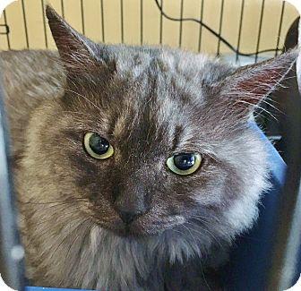 Persian Cat for adoption in Salisbury, Massachusetts - Q