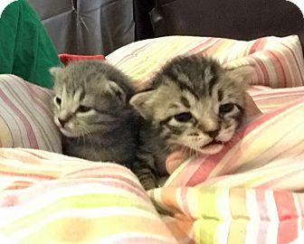 Calico Kitten for adoption in Denver, North Carolina - Safari and Miles