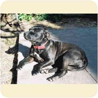 American Pit Bull Terrier Mix Dog for adoption in Berkeley, California - Lady