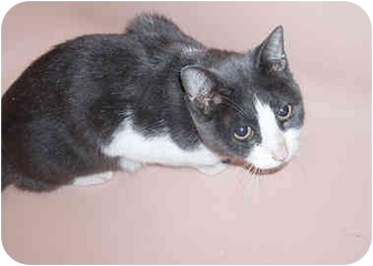 Domestic Shorthair Cat for adoption in New York, New York - Ruby