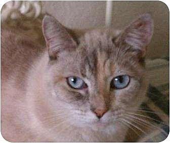 Siamese Cat for adoption in Austin, Texas - Cutie Pie